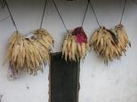 Corn hangs drying in the sun.