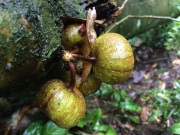 Wild figs - very popular with bats.