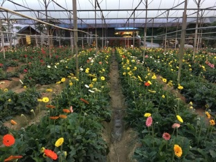 Rows of gerberas at Westwood Highland