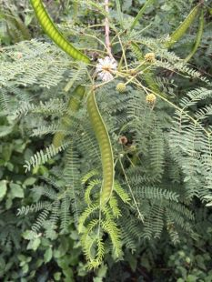 A Cha-Om tree, which is a type of acacia plant.
