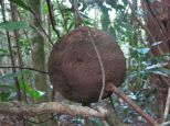 Spotted many of these perfect sphere nests along the trail.