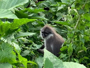 Dusky langurs - they appeared to be particularly fond of the leaves from a single species of shrub.